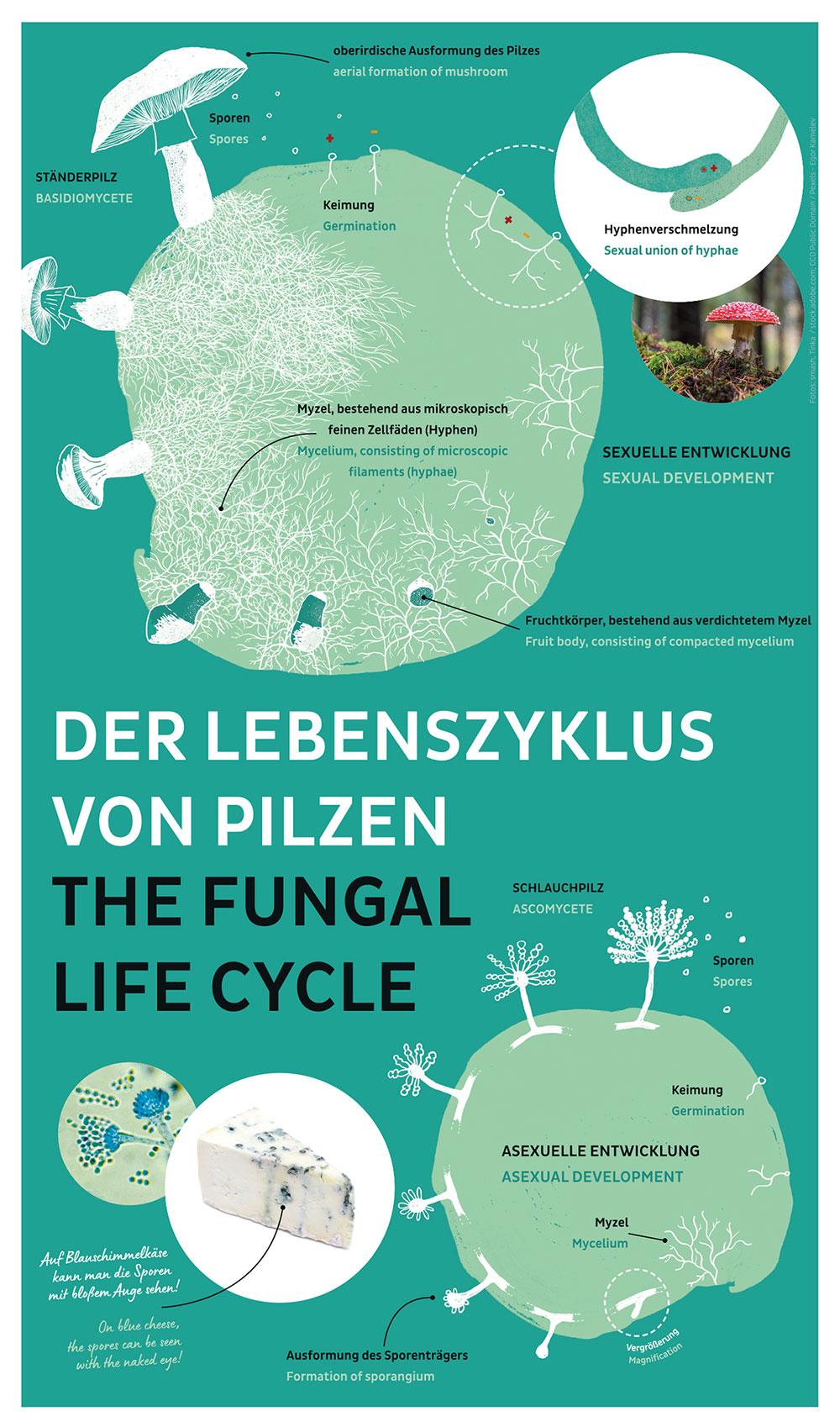 Poster Lebenszyklus von Pilzen